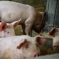 'Unexpected' number of AMR genes found on pig farm