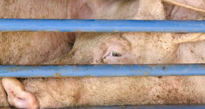 Agriculture bill should restrict lower animal welfare imports, says RSPCA