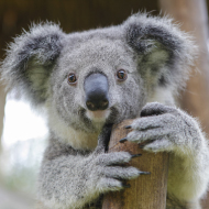 New breakthrough in tackling deadly diseases affecting koalas