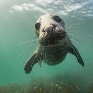 Wild grey seals clap underwater to communicate