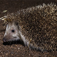 Study reveals London's hedgehog hotspots