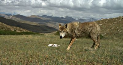 Himalayan wolf discovered to be unique wolf adapted to high altitude life