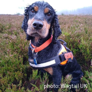 Spaniel named world's first great crested newt detection dog