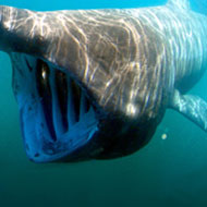 Basking sharks travel to familiar feeding sites in family groups