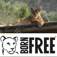 Born Free launches appeal for ex-circus lioness in Italy