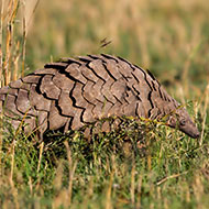 Pangolins found to carry coronavirus-related strains