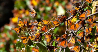 British butterfly populations on the rise