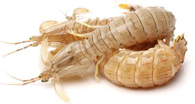 Insects and crustaceans 'more alike than we thought'
