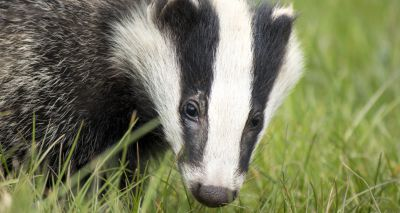 Badger culls to be phased out in favour of vaccination of bTB