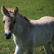 Rare horse born at ZSL Whipsnade Zoo