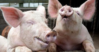 Waitrose and SRUC team up to understand animals' emotions