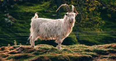 Wild goats take over Llandudno's empty streets