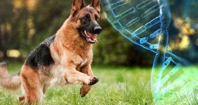 Scientists map genome of healthy German shepherd