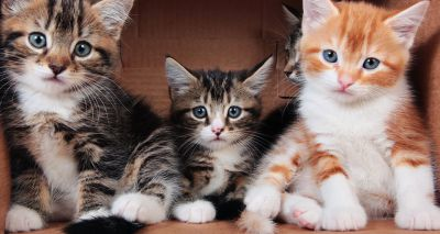 Cats Protection welcomes ban on third-party kitten sales