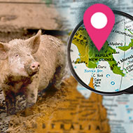 African Swine Fever identified in Papua New Guinea