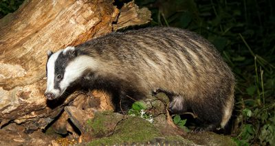 Wildlife charities urge government to end badger cull in light of new figures