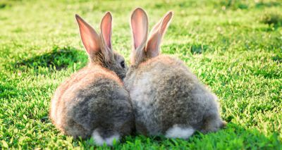 Housing rabbits in pairs reduces stress and keeps them warm
