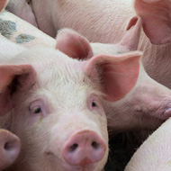 African swine fever vaccine moves step closer