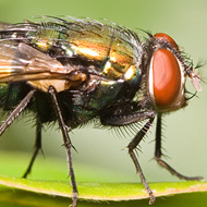 Blowfly risk rises to 'medium' in southern England