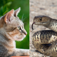 Cats twice as likely to survive snakebites than dogs