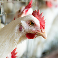 Funding boost for chicken welfare research