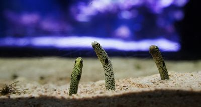 Japanese aquarium hosts 'face-showing festival' for eels