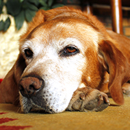 PetSavers project seeks owners of canine 'golden oldies'