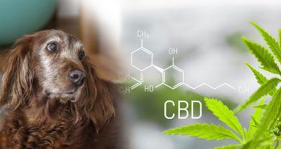 Cannabidiol improves symptoms of canine arthritis, study finds