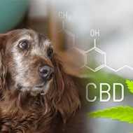Cannabidiol improves symptoms of canine arthritis, study finds
