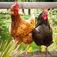 New treatment to tackle red mite in backyard poultry