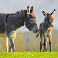 Besnoitiosis reported in UK donkeys for the first time
