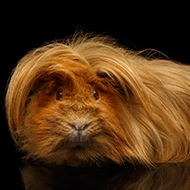 Study reveals origins of guinea pig domestication