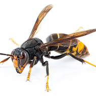 Vigilance urged following unconfirmed sighting of Asian hornet