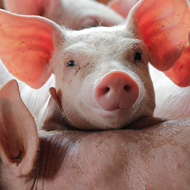 Pigs useful for testing influenza antibody treatment, study finds
