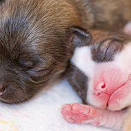 New study classifies congenital birth defects in various dog breeds