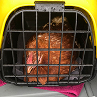 Chicken survives 90-mile journey under a lorry