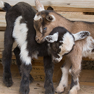 Goat kids should be treated differently to calves, study finds