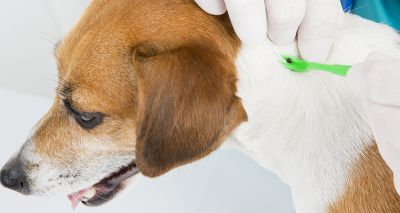 BSAVA publishes Q&A about babesiosis