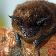BSAVA reminds small animal vets to practise safe bat handling