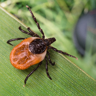 First case of tick-borne babesiosis confirmed in England