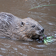 Conservationists express delight at beaver trial success