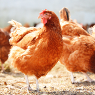 Study highlights potential of avian influenza to infect commercial flocks