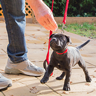 Battersea launches virtual puppy training programme