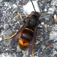 Vigilance urged after Asian hornet spotted in Hampshire