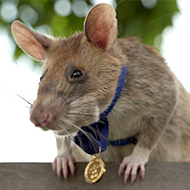 Landmine detection rat awarded animals' George Cross
