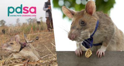 Landmine detection rat awarded animals' George Cross