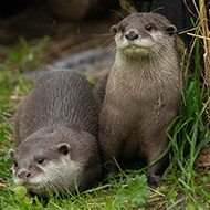 Edinburgh Zoo welcomes inquisitive otter pair