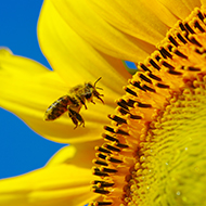 'Scent-training' honeybees could boost sunflower production