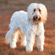 Labradoodles mostly poodle, study suggests