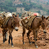 Study highlights equid welfare in Nepalese brick kilns